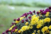 Chrysanthemums bloom