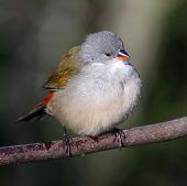 Swee Waxbill Bird