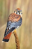 image of small-hawk  - American kestrel  - JPG