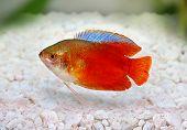 Red Flame gourami Trichogaster lalius freshwater aquarium fish