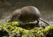 pic of shrew  - Seen from the side of the pygmy shrew running on green moss - JPG
