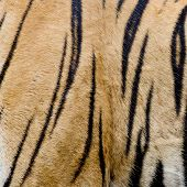 Colorful Detail Of Tiger Pelt