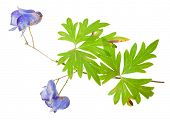 Medicinal plant: Aconite