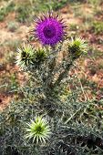 Purple flower of the Thistle