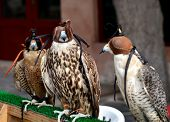 foto of emirates  - Hunting falcons Abu Dhabi United Arab Emirates - JPG