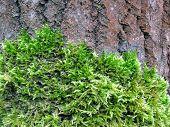 Green moss on a tree