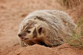 stock photo of badger  - American badger  - JPG