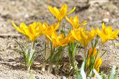 Golden Crocuses With Opened Flowers