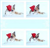 Collie Dog With Santa's Hat