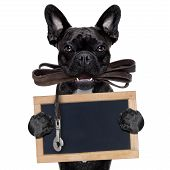 picture of dog-walker  - french bulldog dog waiting to go for a walk with owner leather leash in mouth holding a blank blackboard isolated on white background - JPG