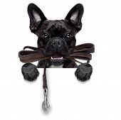 stock photo of dog-walker  - french bulldog dog waiting to go for a walk with owner leather leash in mouth behind blank banner isolated on white background - JPG