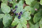 foto of century plant  - European dewberry (Rubus caesius) plant with berries.