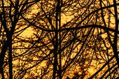 Bright Silhouette Of Branches Of The Winter Golden Sky