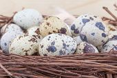 Small quail eggs in nest