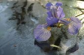 The Iris flower on glass