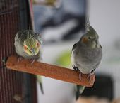 foto of cockatiel  - Cockatiel (Nymphicus hollandicus) couple sitting on a rod. Focus is on the male trying to make contact with the female.