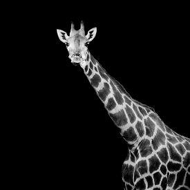 picture of herbivore animal  - close up giraffe animal wildlife black color background - JPG
