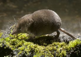 stock photo of shrew  - Seen from the side of the pygmy shrew running on green moss - JPG