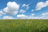 picture of ascending  - Yellow blooming - JPG