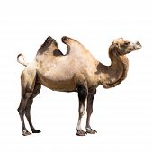 Постер, плакат: Camel