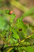 picture of larva  - Spraying Insecticide on Colorado Potato Beetle Bug Larvas in Cultivated Vegetable Garden - JPG