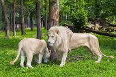 stock photo of african lion  - Pair of White South African lions  - JPG