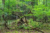 pic of decomposition  - Deciduous stand of Bialowieza Forest in springtime with partly dead broken hornbeam in foreground - JPG