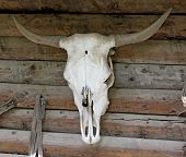 foto of cow skeleton  - White Cow Skull on a wooden wall - JPG