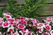 picture of carnation  - A garden bed of Turkish Carnations native to the Mediterranean region but have been cultivated for some 2000 years now - JPG