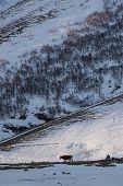 image of greater  - Cow walking under the Mount Kazbek Greater Caucasus Range in Georgia - JPG