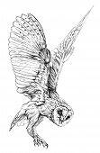 picture of owl eyes  - Sketch of Barn owl - JPG
