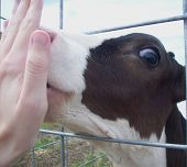 pic of licking  - A Holstein calf licking the palm of hand - JPG