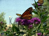 picture of monarch  - A monarch butterfly  - JPG