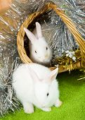 picture of tawdry  - Two white rabbits in basket against tinsel on green - JPG