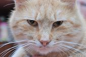 picture of judas  - zoomed angry face of moustached foxy cat - JPG