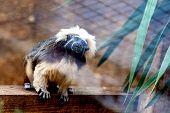 stock photo of titi monkey  - Monkey titi cotton - JPG