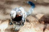image of titi monkey  - Monkey white tufted marmoset or titi de penachos blancos - JPG