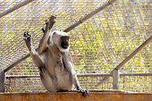 foto of hanuman  - Gray langurs or Hanuman langurs monkey in zoo cell - JPG