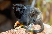 stock photo of marmosets  - Black monkey red handed tamarin sitting on stone in zoo - JPG