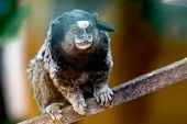 picture of marmosets  - Monkey sitting on wodden log in zoo - JPG