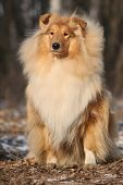 stock photo of scotch  - Beautiful scotch collie sitting in the forest - JPG