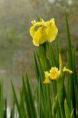 Swamp Iris 1