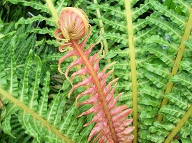 picture of fern  - A red fern frond uncurling with a fern plant - JPG