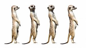 picture of meerkats  - Four isolated meerkats standing on the stone - JPG