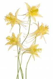foto of columbine  - Studio Shot of Yellow Colored Columbine Flowers Isolated on White Background - JPG
