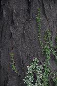 Ivy  Tree Bark