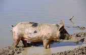 A mottled pig