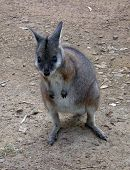 stock photo of tammar wallaby  - A young cute - JPG