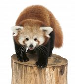 Young Red panda or Shining cat, Ailurus fulgens, 7 months old, on tree trunk in front of white backg