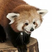 Young Red panda or Shining cat, Ailurus fulgens, 7 months old, on tree trunk in front of white background